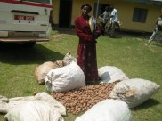 Irish potatoes purchased by KIHEFO staff after Harvest